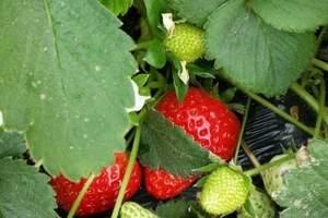 大连摘草莓旅游团‖金州草莓采摘+农家饭+小黑山踏青一日游