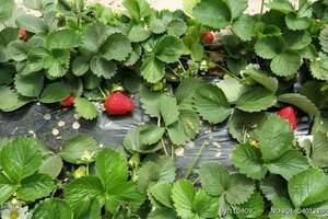 沈阳到杨城寨草莓采摘+地藏寺+花卉市场+六合生态园一日游尾单