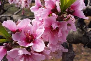 成都到花舞人间一日游_春天成都周边赏花线路_花舞人在哪里