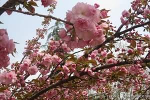 泰安出发到南京无锡梅园船游溱湖扬州三日|春季踏青赏花游