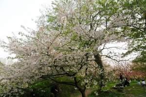 ��春恋花漾��北京到韩国首尔济州岛赏樱美食三飞五日春华之旅