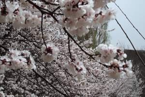 早春摄影4-5月8日伊犁杏花沟