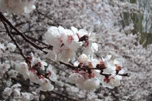 [伊犁吐尔根杏花火车3晚2日游]乌鲁木齐到吐尔根杏花寻春之旅