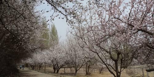 吐峪沟杏花园