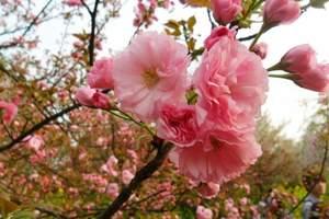 沈阳到大连薰衣草+樱花二日游|大连樱花节|大连旅顺旅游