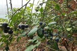 青岛周末游|跟小伙伴们蓝莓采摘一日游|蓝莓+唐岛湾休闲一日游