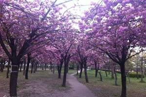 太原到日本旅游 名古屋 奈良 富士山 东京 日本赏樱八日