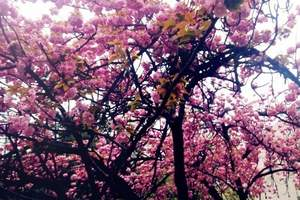 洛阳到日本冲绳樱花海岛度假游 春节洛阳去日本赏樱花旅游费用