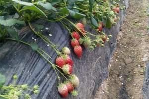 龙门古镇草莓采摘一日游 杭州出发 三八节 草莓活动
