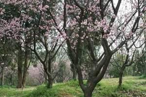 南京国际梅花节一日游