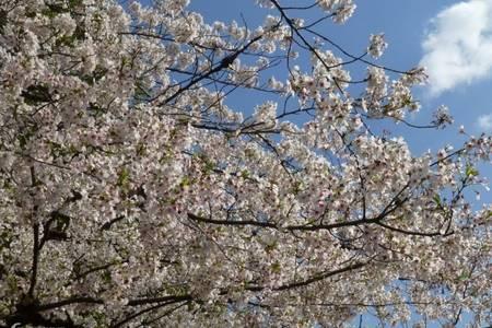 【贵州平坝樱花+藤甲部落双汽一日游】平坝樱花旅游线路