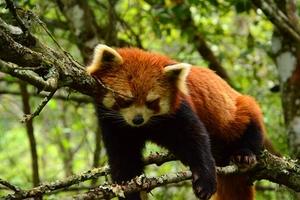 """国家公园小熊猫挂着睡觉""""吓坏""""游客"""