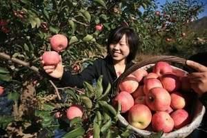 青岛出发去烟台吃苹果_栖霞牟氏庄园+苹果采摘一日游_免费吃