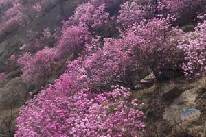 胶南大珠山杜鹃花海一日游,青岛旅行社大珠山看花团非常好