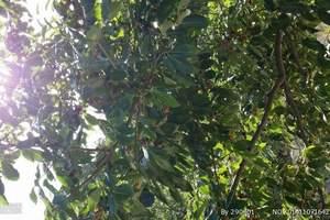 青岛到平度茶山景区、大泽山葡萄采摘一日游 平度葡萄采摘一日游