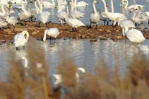 黄河湿地三门峡库区发生野鸟禽流感 景区暂时关闭