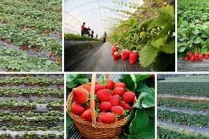 初春赏梅好出去_苏州太湖【缥缈峰】登山赏梅采草莓一日游