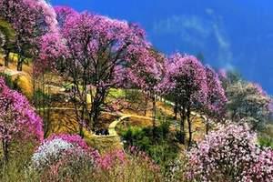辛夷花什么时间哪个月哪个季节开花 成都去药王谷观花一日游费用