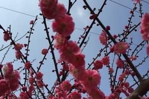 宜昌出发枝江桃花园 采摘休闲一日游-春季桃花-春游踏青