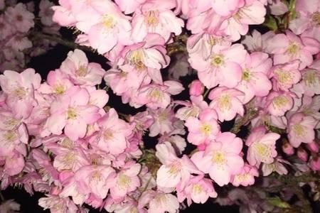 呼和浩特到日本赏樱花日本东京、大阪、京都、富士山 箱根七日游