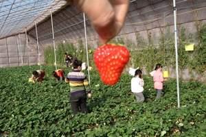 兰州到刘家峡摘草莓多少钱 刘家峡摘草莓1日游