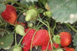 大连旅顺摘草莓_大连旅顺采摘大草莓一日游_大连草莓采摘团购