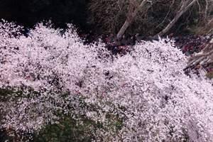 新疆到日本樱花旅游:山东航空直航日本8日游