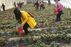 兰州到刘家峡摘草莓一日游