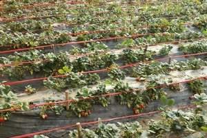 石家庄采摘一日游 石家庄摘草莓休闲一日游