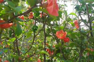 2018旅顺樱花节时间_大连旅顺龙王塘樱花节、草莓采摘一日游