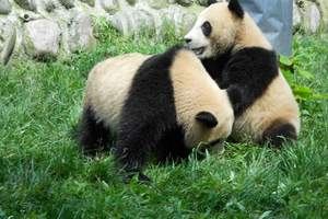 蓉城记忆-洛阳到成都、熊猫乐园、峨眉山、黄龙溪高铁六日游