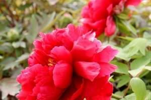 神州牡丹园