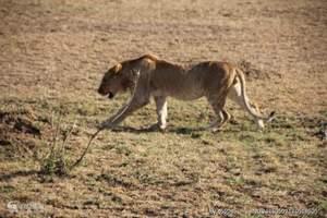 动物大迁移、肯尼亚旅游、深圳报团去肯尼亚精彩猎奇8天之旅
