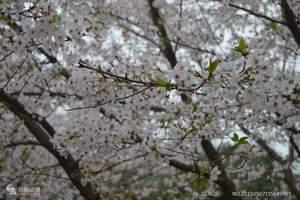 长沙到武汉看樱花 黄鹤楼、磨山樱园、楚河汉街高铁两日游