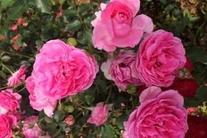 武汉周边一日游 木兰玫瑰园相约浪漫一日游