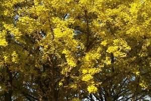 武汉周边赏银杏一日游报价-武汉附近的银杏什么时候黄