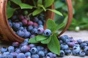 【蓝莓采摘跟团一日游】即墨蓝莓采摘+鹤山景区纯玩跟团一日游