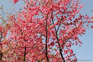 厦门到永福樱花一日游|厦门到永福樱花旅游团|厦门旅行社赏花团