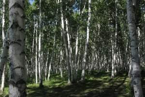 额尔古纳白桦林景区