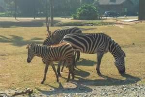 动物王国—长隆野生动物园欢乐世界海洋王国黄埔军校游学6日营