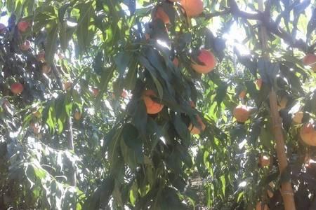 大连周边农家生活体验+采摘蘑菇和黄桃+亲手制作黄桃罐头一日游