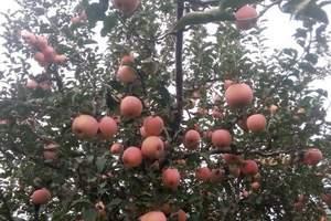 北京到天津盘山一日游、公司秋季采摘苹果一日游、盘山一日游