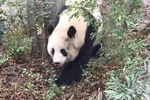 三星堆、熊猫基地一日游【纯玩团,成都旅游,四川旅游】a