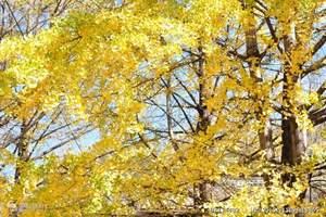 杭州到<长兴仙山湖+十里银杏长廊一日游>秋季赏长兴古银杏长廊