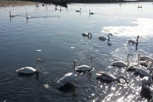 冬天的周末去哪玩 荣成天鹅湖、碧桂园十里金滩温泉跟团两日游