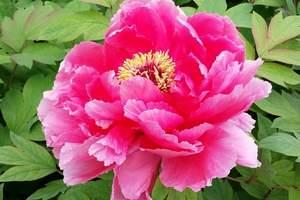 洛阳神州牡丹园门票多少钱  四季牡丹园