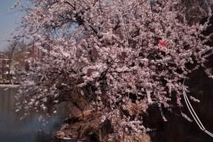 大连樱花节_旅顺203樱花、草莓采摘精品纯玩一日游