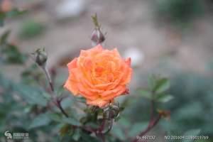 广州从化宝趣玫瑰世界门票预订当天预订成人门票
