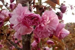 大连203樱花园赏樱花+草莓采摘+农家饭一日游|203樱花园