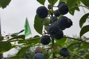 青岛采摘旅游线路:黄岛蓝莓采摘+海军公园一日游,蓝莓成熟了